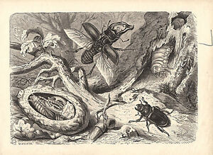STAG BEETLE NATURE BEETLE NATURAL HISTORY NATURE ANTIQUE PRINT 1878