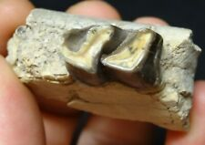 Stonez-N-Bonez Hyracodon Tooth Oligocene Period Badlands South Dakota Hyr1