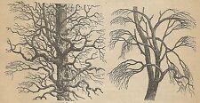 A4435 Quercia e olmo della California - Incisione - Stampa Antica del 1887