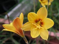 Rain Lily, Habranthus Tubispathus var. Texanus, 4 bulbs, NEW, RARE, zephyranthes