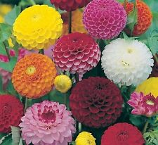 FLOWER DAHLIA POMPONE DOUBLE MIXED - 240 FINEST SEEDS