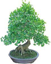 Bonsai Ginko Biloba Tree Seeds to Plant - 6 Seeds - Edible Leaves Promote Memory