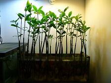 Seme di Mangrovia rossa, pianta consuma nitrati e fosfati in acquario. Mangrove