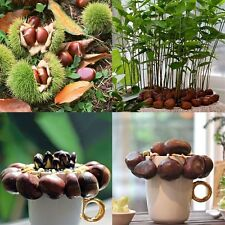 5 seeds Fresh Chinese Chestnut Fruit Tree Seeds - Castanea mollissima