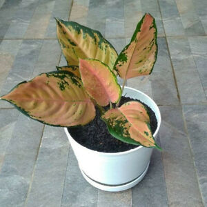 aglonema kochin tropical houseplants seeds