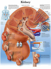 Cartel médico A3-la anatomía humana riñón (libro de texto Patología Médico)