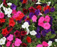 ☺200 graines de pétunias en mélange.  4 couleurs