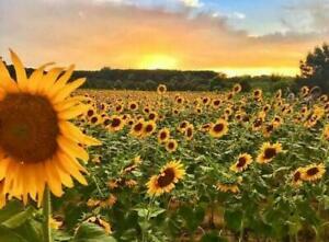 Sunflower Field Fragrance Oil SKU #113