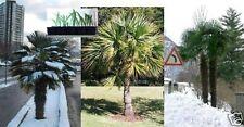 3 verschiedene winterfeste Palmen winterharte immergrüne Palmensorte Palmenarten