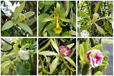 fertile vanilla plants,Air Rooted plant,Vanilla orchids 15-20 cm free ship