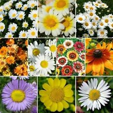 200++ DAISY CRAZY - DAISY FLOWER SEED MIX 10 Species of Wildflower Seeds USA-SEL