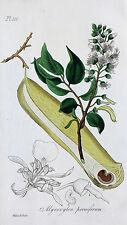 Myroxylon peruiferum Balsamo alberi Balsamo of Perù bossoli frutto semi frutto Pulse