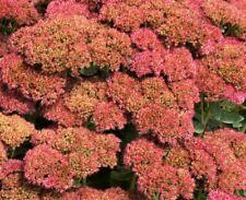 20 YOUNG PLANTS AUTUMN JOY STONECROP - RED SEDUM - Perennial