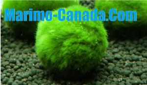 5x 3-4cm 1.5'' Marimo Moss Balls Live Plant Aquarium Plant