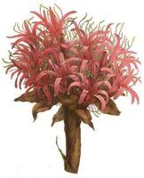Samen Saatgut Wintergarten i! Flammen-Lilie i!  Zimmerpflanze Topfpflanze