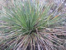 Dasylirion texanum - Very Hardy Texas Sotol - 20 Seeds
