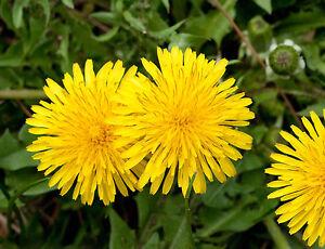 Dandelion Taraxacum Officinale 50 Seeds Culinary /& Herbal Wildflower UK Seller