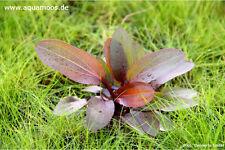 Echinodorus Red Chamäleon , Dennerle Schwertpflanze 'Red Chamäleon'