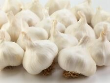 12 Jumbo Garlic Bulbs - Fresh and Prime Picked