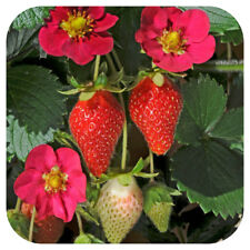 5 Organic Everbearing Strawberry Plug Plants Toscana F1 for Hanging baskets