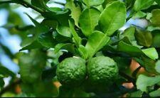 12 Seeds Organic Thai Kaffir Lime Bergamot Home Garden
