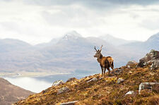 STUNNING CANVAS SCOTTISH RED DEER STAG #30 WILDLIFE WALL HANGING PICTURE ART A1