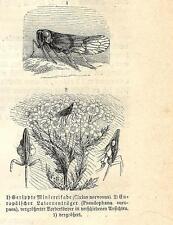 Stampa antica INSETTI Cixius nervosus INSECTA 1891 Old antique print