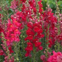 Snapdragon- Ruby- 200 seeds