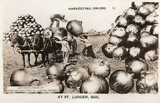 Harvesting Onions ST-LUDGER Beauce Quebec Canada 1940s Exaggeration RPPC 13