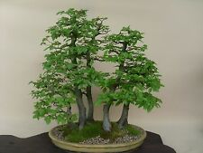 5 X European Hornbeam Carpinus betulus bonsai trees best offer PP