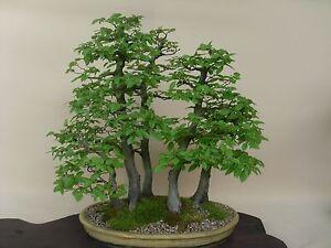 5 X European Hornbeam Carpinus betulus bonsai trees best offer PP