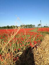 Papavero rosso, rosola di campo, 5 grammi, circa 35000 semi