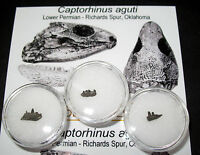 Special Offer £3 Budget Fossils - Permian Captorhinus jaw w/ teeth