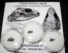 Special Offer £3 Budget Fossils - Permian Captorhinus jaw w/ teeth