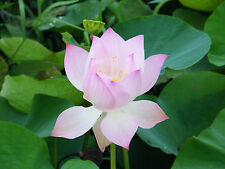 10 Light Pink Lotus Seeds pond plants not water lily