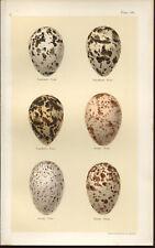 SEEBOHM Antique BIRDS EGGS print 1896 Chromolithograph  Plate 30