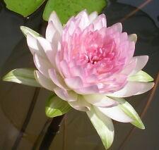 JONGKOLNEE THAI  WATER LILY NYMPHEAE 2 BULBS POND PLANT BULB RHIZOME+ FREE PHYTO