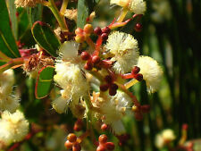 Myrtle or Red-stemmed Wattle (Acacia myrtifolia) - 30 Seeds