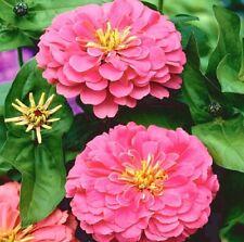 Zinnia Giant Dahlia Flowered Seeds Illumination Deep Rose Excellent Cut Flower