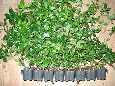 5 x Jiaogulan Pflanzen Kraut der Unsterblichkeit kräftig vegetativ vermehrt