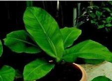 Flower - Musa ensete  - 10 Seeds - Large Packet