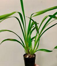 Cymbidium Dschungle Girl ´Jade Fire´ Japan Exclusive Duft XL Pflanze Orchidee