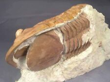 Asaphus Plautini Plautini Trilobite Russia Twins Big