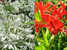 Agapanthus blanco, white 30 semillas + Crocosmia lucifer 30, seeds graines samen