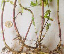 6 X Garden Mint plants, Bare Root , Herbs, , fast growing