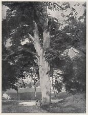D9597 La quercia secolare del Parco Giuliari a Costermano - Stampa - 1925 print