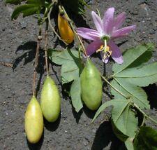 exotische Samen Kletter-Pflanzen Terrasse Balkon  Banane-Passionsfrucht
