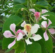Bauhinia Arrampicata ORCHIDEA! RARE, crescita veloce! SEMI FRESCHI FIORI, arbusti, Hardy