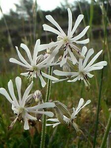 Notthingham Catchfly - Silene nutans - 500+ seeds - Semillas - Graines - Samen