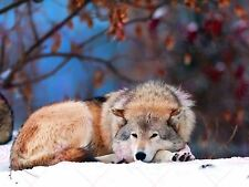 PHOTO NATURE ANIMAL WOLF SLEEPY DOG CANINE FUR FOREST WINTER POSTER LV11006